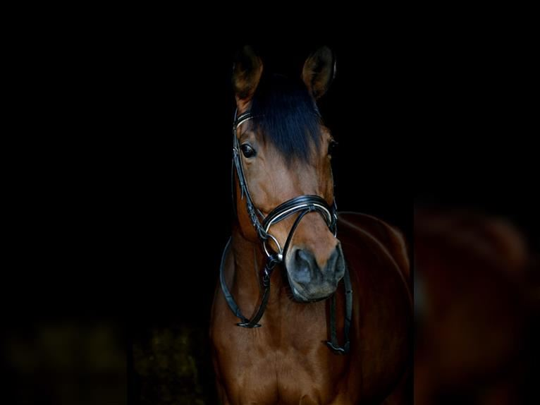 Trakehner Mare 9 years 17 hh Brown