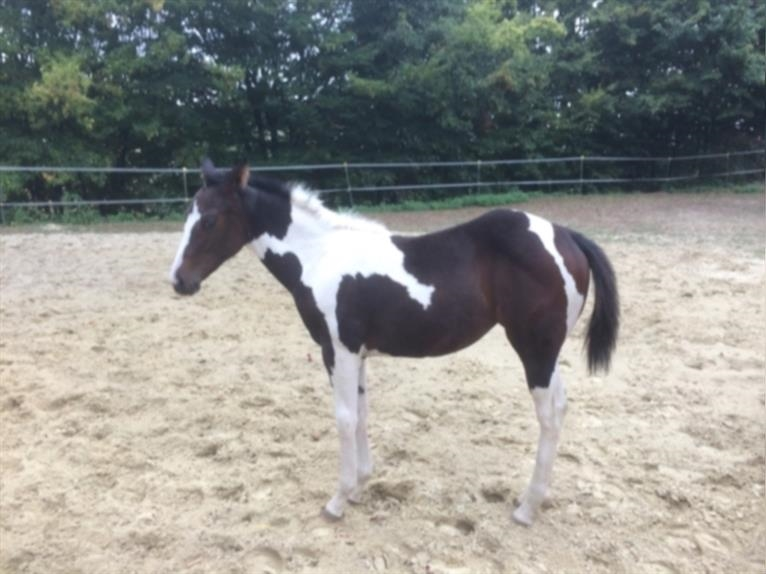 UNBEARABLE CHIC Paint Horse Hengst Tobiano-alle-Farben