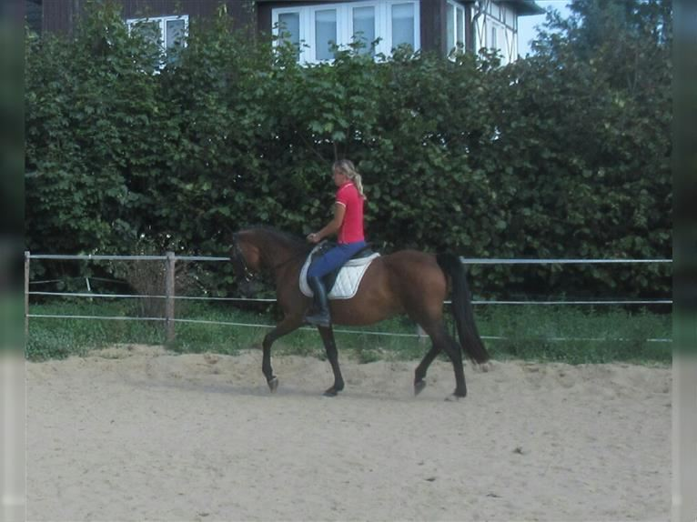More ponies/small horses Mare 12 years 14,2 hh Brown