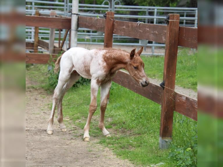 Pony of the Americas Stallion Foal (05/2021) 14,1 hh Chestnut-Red