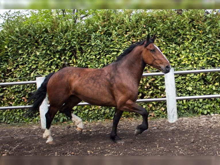 Cob Mare 7 years 16,1 hh Brown