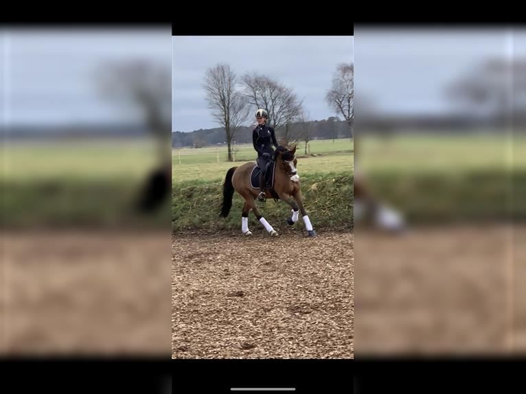 German Riding Pony Mare 12 years 14,1 hh Brown