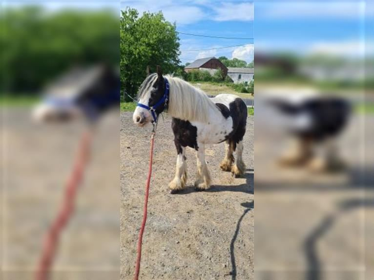 More ponies/small horses Mare 7 years 12,1 hh