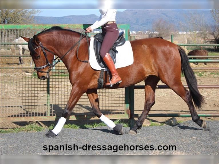 Andalusian Mare 7 years 16 hh Brown