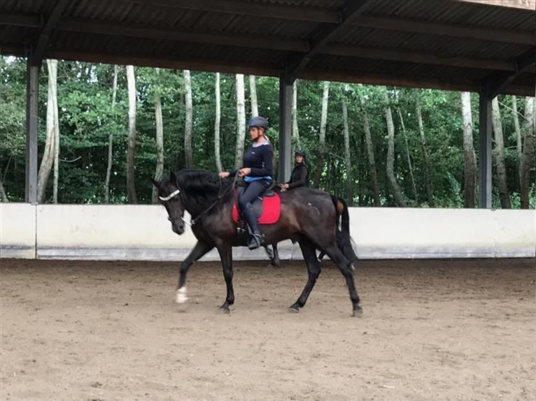 Andalusier Wallach 8 Jahre 165 cm Rappe
