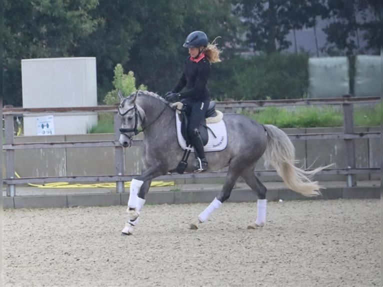 German Riding Pony Mare 5 years 14,1 hh Gray