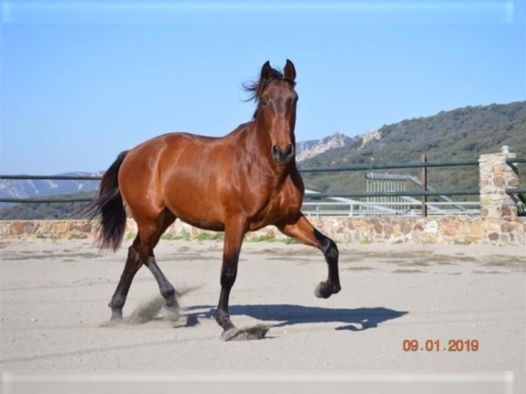 Andalusian Stallion 5 years 17 hh Bay