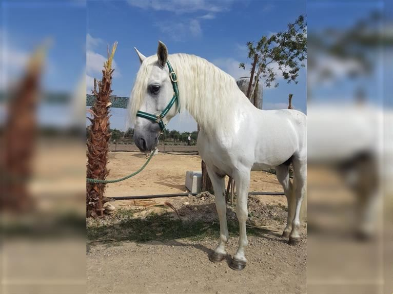 Andalusian Stallion 9 years 15,2 hh Can be white