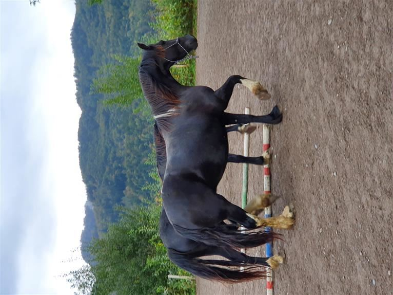 Baroque Pinto Mare 3 years 15 hh