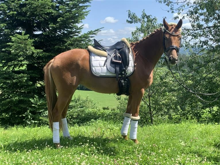 Hanoverian Mare 3 years 15 hh Chestnut-Red