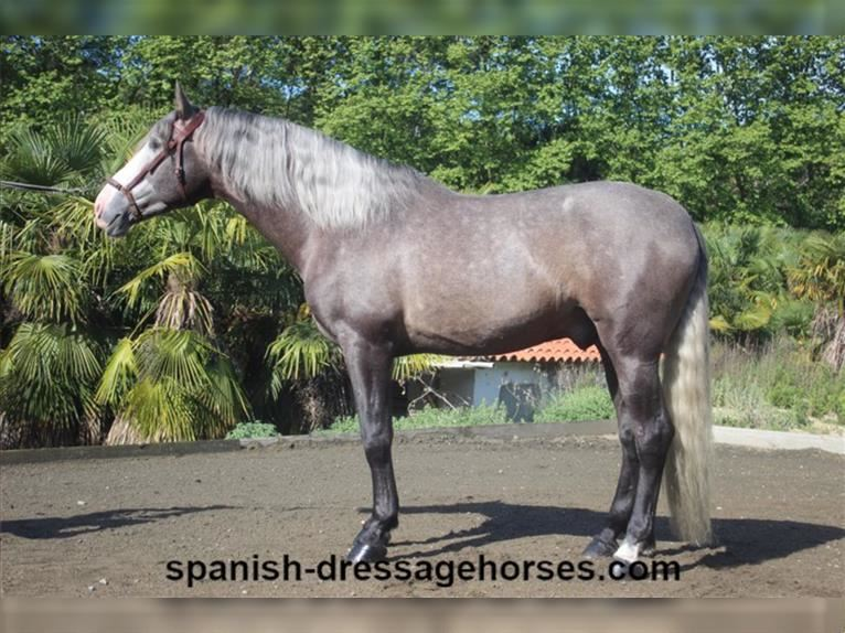 Andalusian Stallion 4 years 16,2 hh Gray