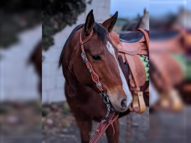 American Quarter Horse Mare 8 years 14,2 hh Brown