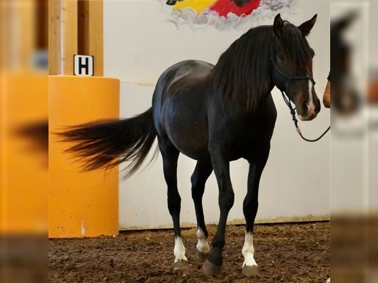 Andalusian Mix Gelding 3 years 15,2 hh Bay-Dark