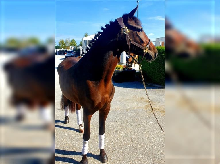 More ponies/small horses Mare 3 years 14,1 hh Brown