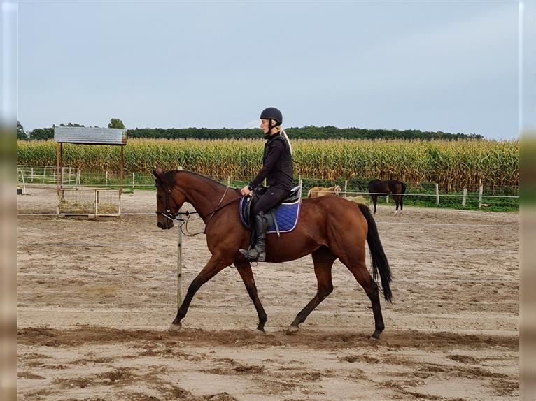 English Thoroughbred Mare 12 years 15,3 hh Brown