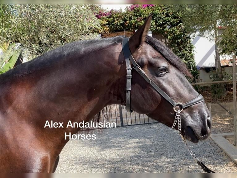 Andalusier Hengst 4 Jahre 164 cm Rappe