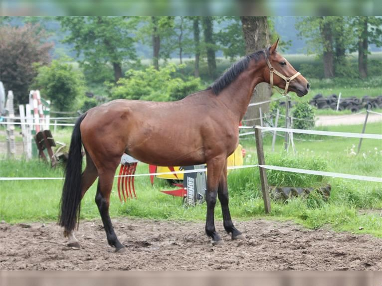 Hanoverian Mare 3 years 15,3 hh Brown