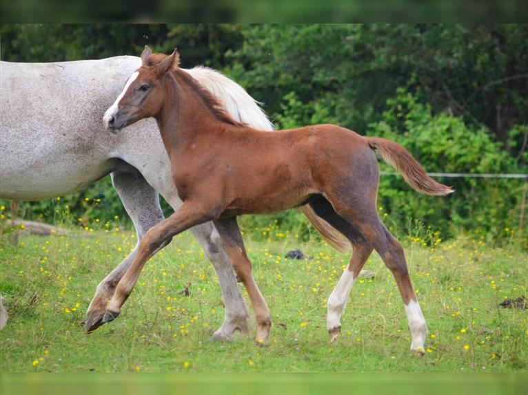 French riding pony Mare Foal (05/2021) 14,1 hh Gray