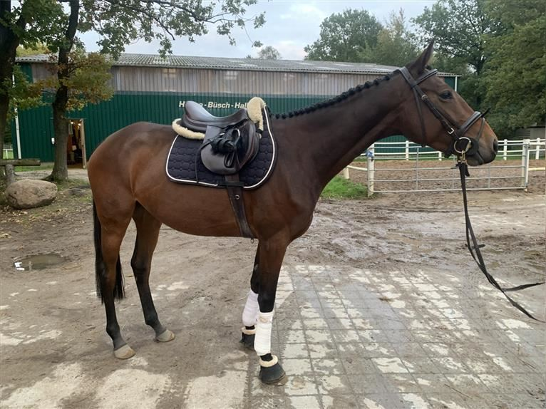 German Riding Horse Mare 4 years 16 hh Brown