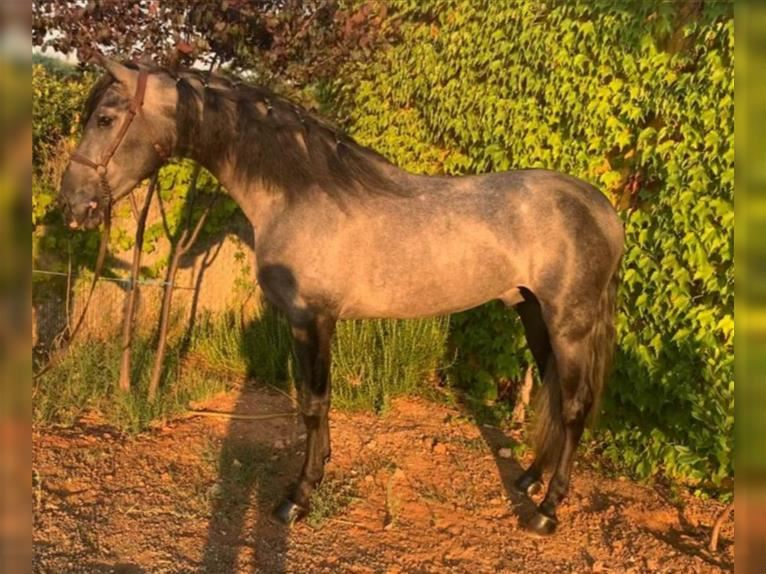 Andalusian Stallion 4 years 15,2 hh Gray-Blue-Tan