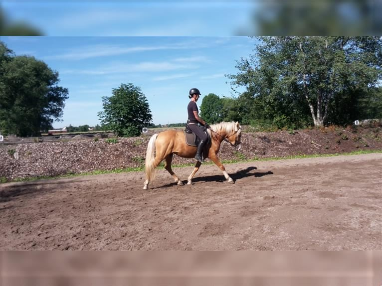 Andalusier Mix Wallach 5 Jahre 152 cm Palomino