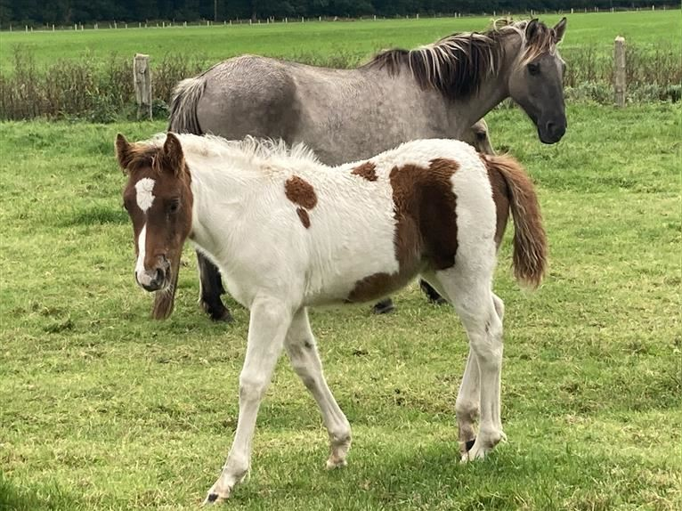 Gypsy Horse Mare Foal (06/2021) 14,2 hh Pinto