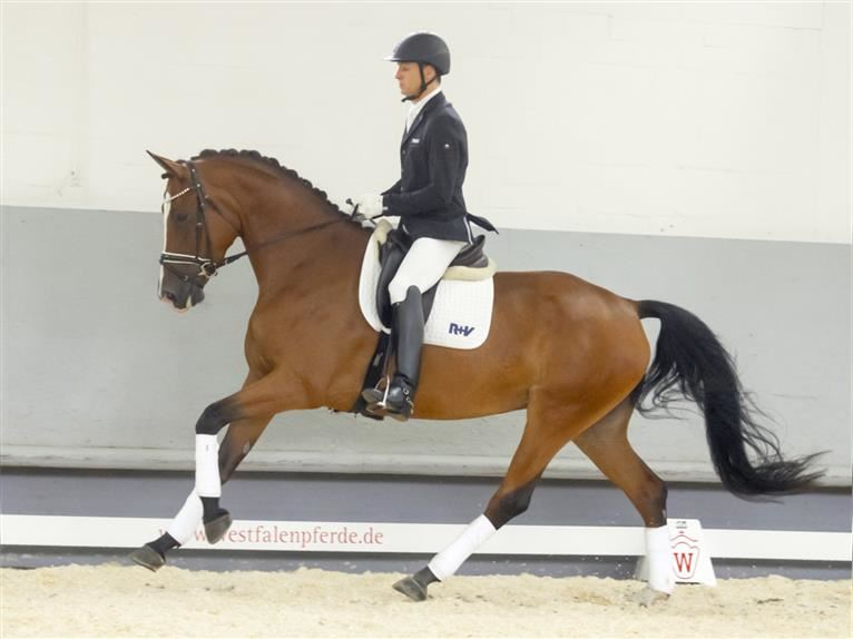 Hanoverian Mare 4 years 17 hh Brown
