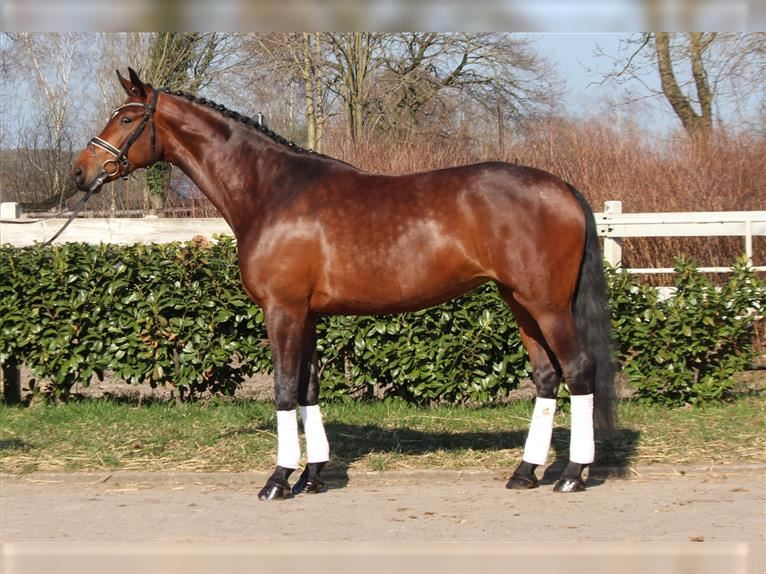 Hanoverian Mare 5 years 16,2 hh Brown