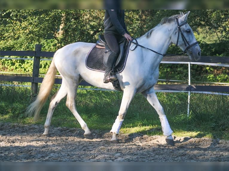 Andalusian Mare 10 years 16 hh Gray