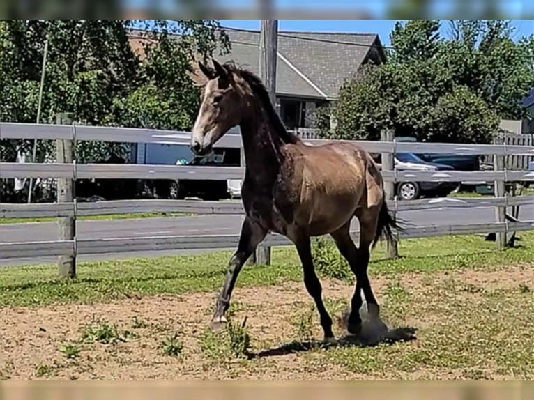 Other Warmbloods Gelding 2 years Gray
