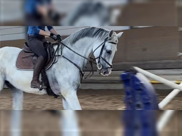 Oldenburg Mare 11 years 17 hh Gray-Blue-Tan