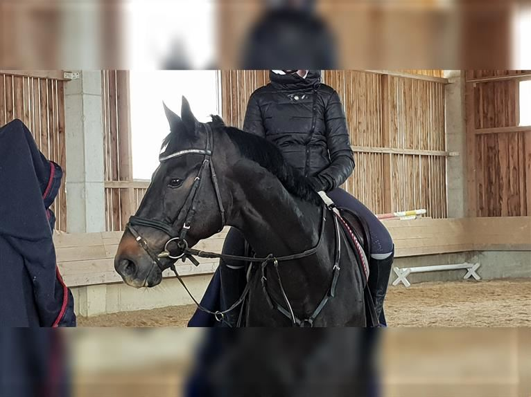 Russian Saddle Horse Gelding 11 years 16,1 hh Smoky-Black