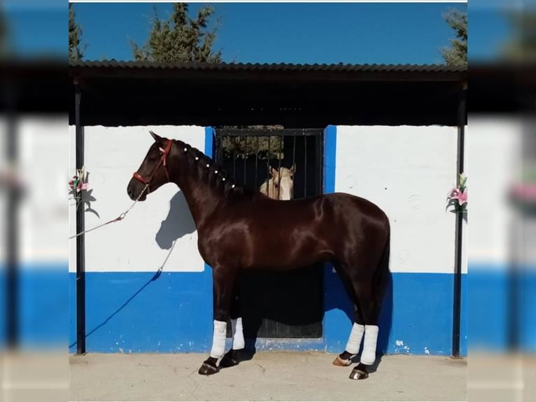 Andalusier Mix Wallach 4 Jahre 165 cm Rappe