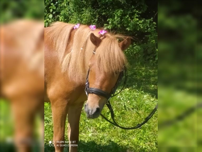 Shetland Ponies Mare 4 years 10,1 hh Chestnut-Red