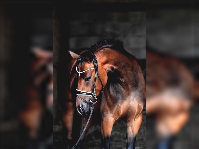 German Riding Pony Mare 4 years 14,1 hh Brown