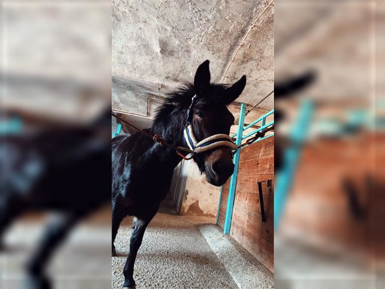 Mule Mare 5 years 12,2 hh Brown