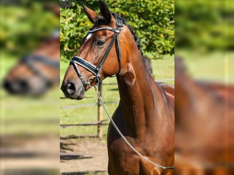 Hanoverian Mare 12 years 16,2 hh Brown