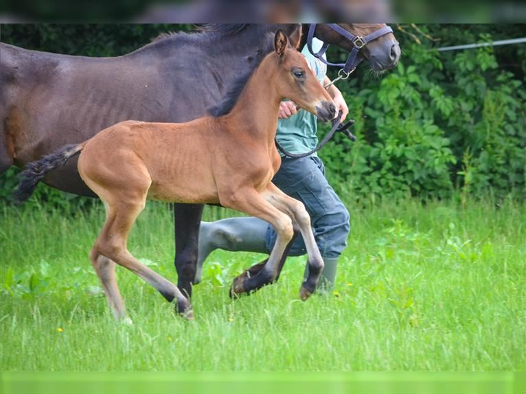 French riding pony Mare Foal (05/2021) 14,1 hh Brown