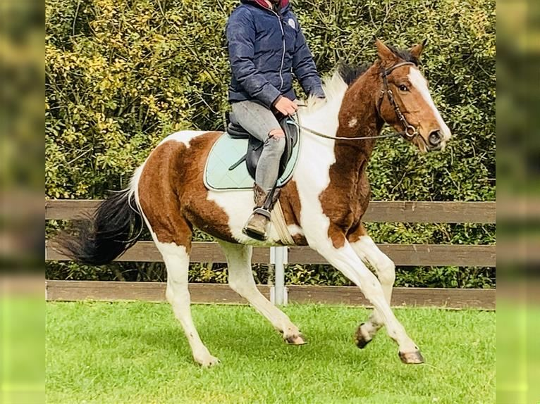 More ponies/small horses Mare 5 years 14,1 hh Pinto