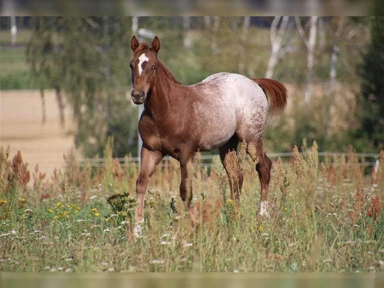 Pony of the Americas Hengst 1 Jahr