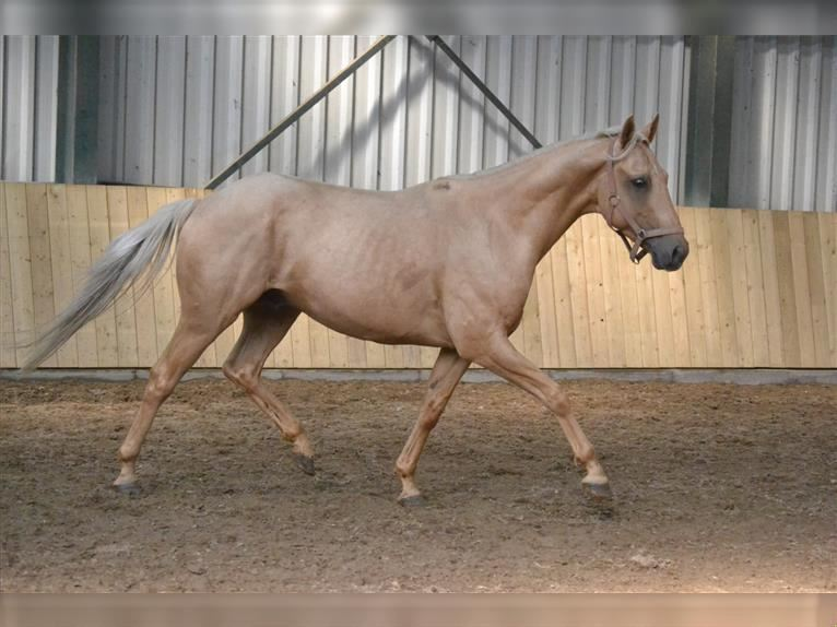 Other Breeds Gelding 4 years 14,1 hh Palomino