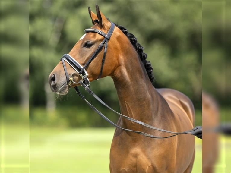 German Riding Pony Mare 3 years 14,1 hh Brown