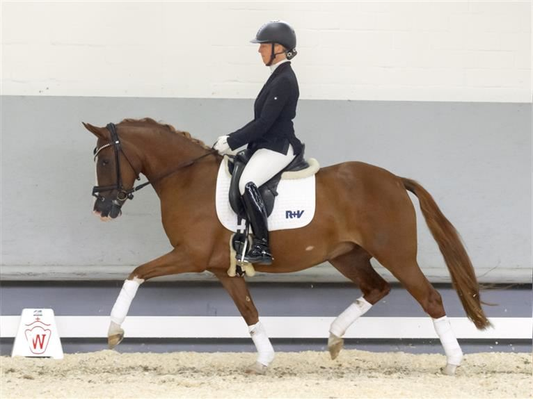 German Riding Pony Mare 4 years 14,1 hh Chestnut