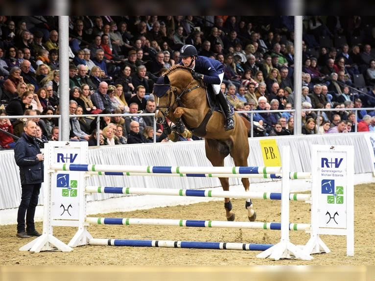 CHACFLY PS Hanoverian Stallion Chestnut-Red