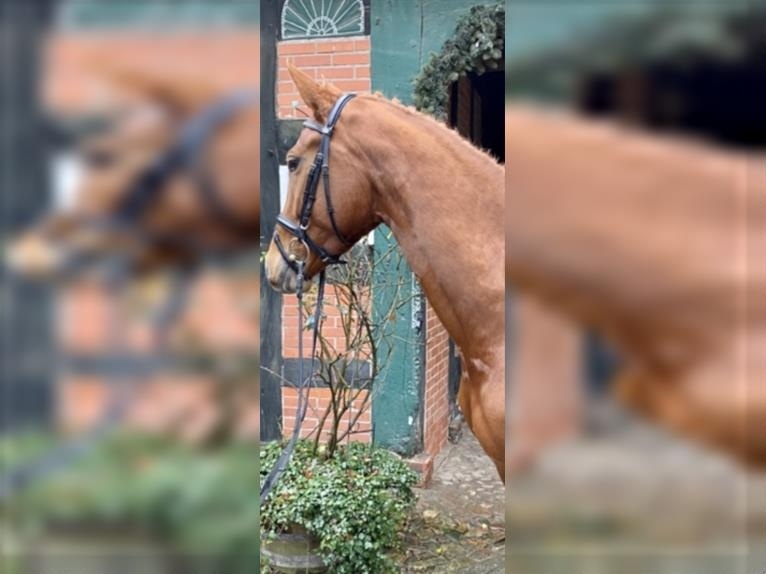 Hanoverian Mare 5 years 16,1 hh Chestnut-Red