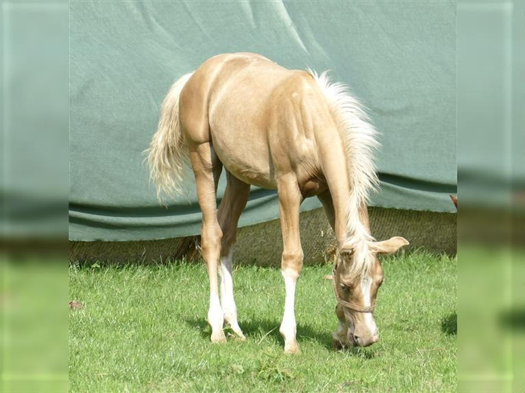 Other Warmbloods Stallion Foal (03/2021) 16,1 hh Palomino