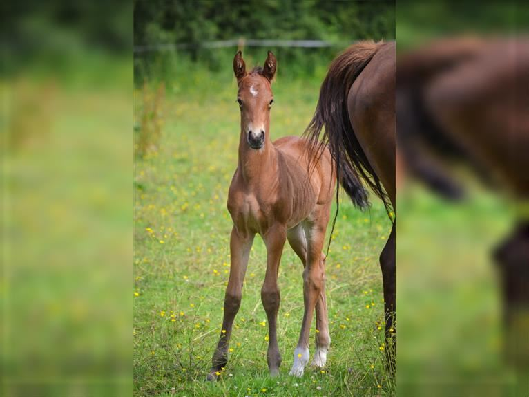 French riding pony Stallion Foal (06/2021) 14,1 hh Brown