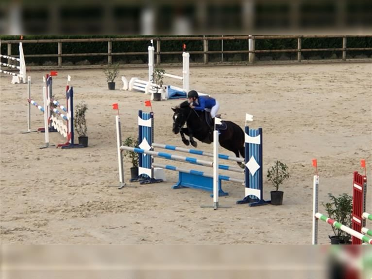 New Forest Pony Wallach 11 Jahre 138 cm Rappe