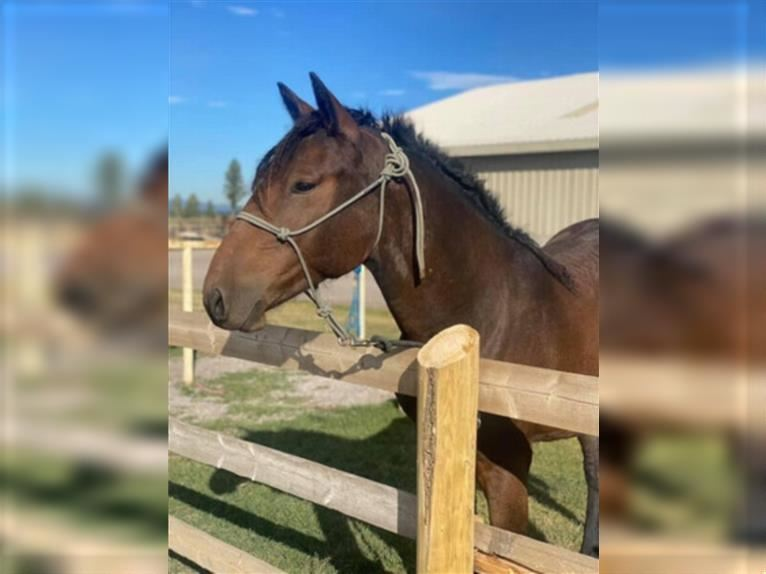 Curly horse Mare 2 years 14,2 hh Bay