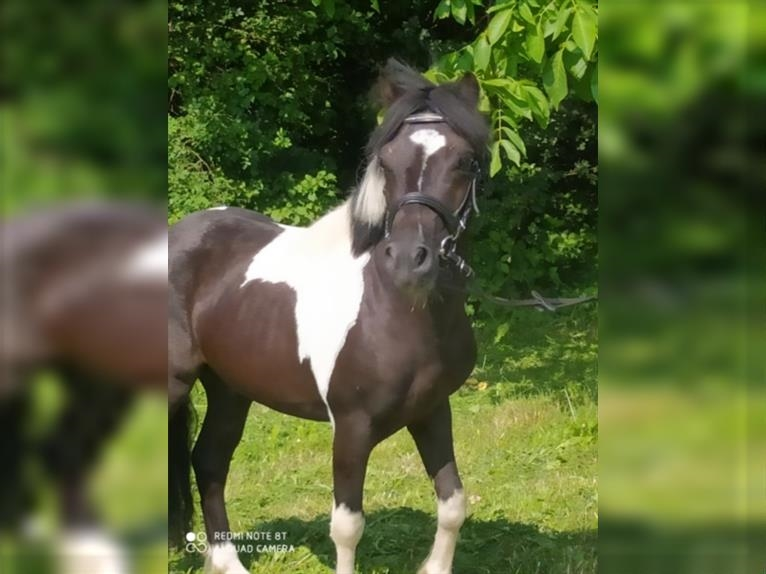 More ponies/small horses Gelding 4 years 11,1 hh Pinto
